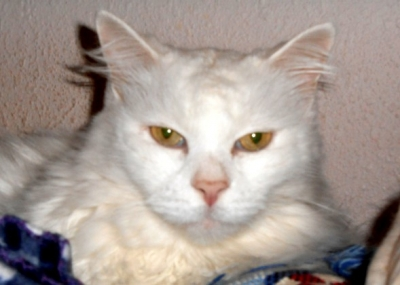 DOMESTIC LONGHAIR Male  Older  Cat #Chuck964320140626#  - click here to view larger pic