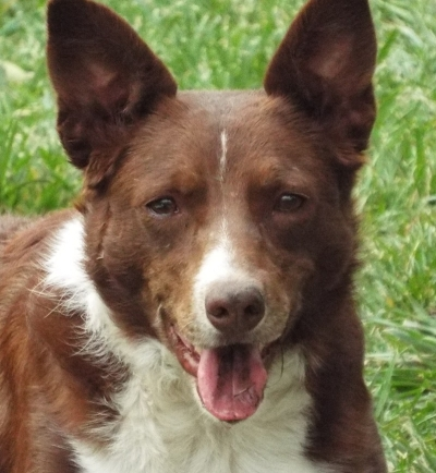 BORDER COLLIE Female  Adult  Dog #DoratheExplorer837620160203#  - click here to view larger pic