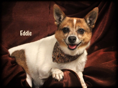 Mix-Bred PARSON (JACK) RUSSELL TERRIER Male  Adult  Dog #Eddie385420140626#  - click here to view larger pic