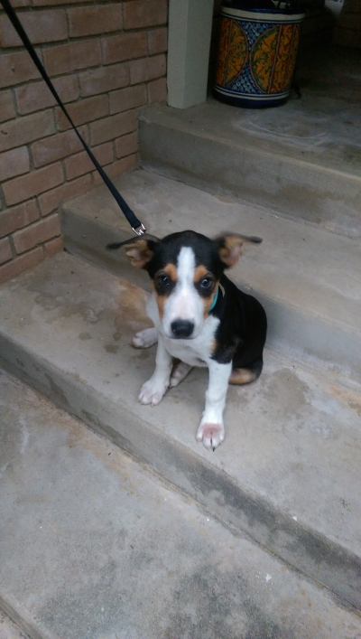 TERRIER GROUP Young  Puppy #FOUND249620160703#  - click here to view larger pic
