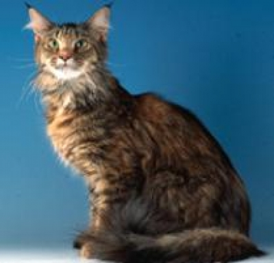 Mix-Bred MAINE COON Male  Adult  Cat #FOUND536620160822#  - click here to view larger pic