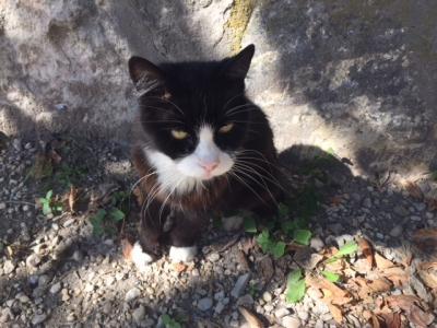 MANX Female  Adult  Cat #FOUND839420161012#  - click here to view larger pic