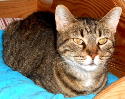 Mix-Bred DOMESTIC SHORTHAIR Male  Older  Cat #Gizmo432220140626#  - click here to view larger pic