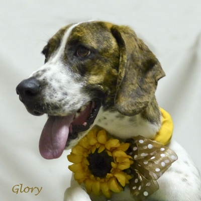 Mix-Bred BASSET HOUND Female  Young  Puppy #Glory494320140630#  - click here to view larger pic