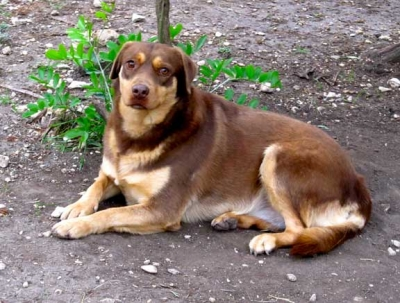 Mix-Bred SHEPHERD GROUP Female  Adult  Dog #HAZEL722920141214#  - click here to view larger pic