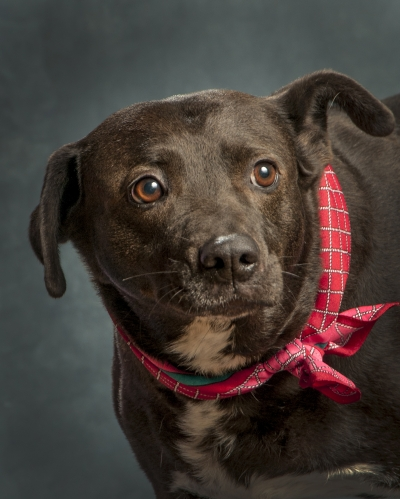 Mix-Bred PIT BULL TERRIER Female  Adult  Dog #Jasmine597420140626#  - click here to view larger pic