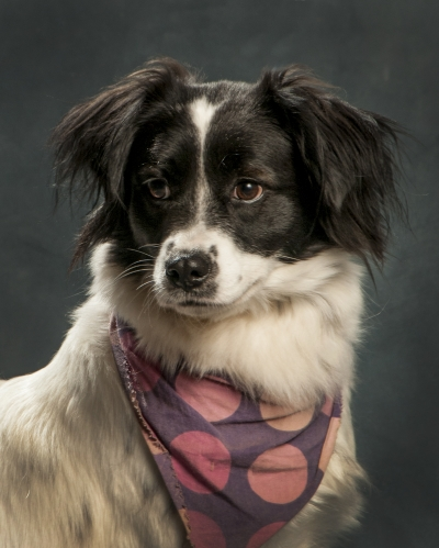 Mix-Bred BORDER COLLIE Female  Adult  Dog #Lady275720140625#  - click here to view larger pic