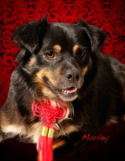 Mix-Bred TIBETAN SPANIEL Adult  Dog #Marley493920140630#  - click here to view larger pic
