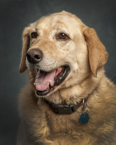 Mix-Bred LABRADOR RETRIEVER Male  Older  Dog #Max963720140626#  - click here to view larger pic
