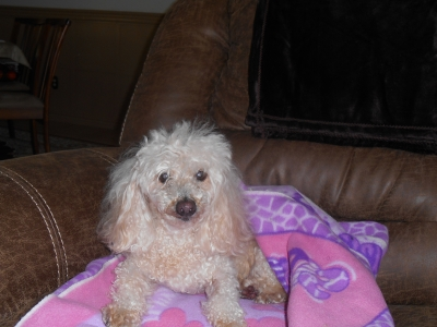 Mix-Bred POODLE - STANDARD Male  Older  Dog #OJ747820160115#  - click here to view larger pic