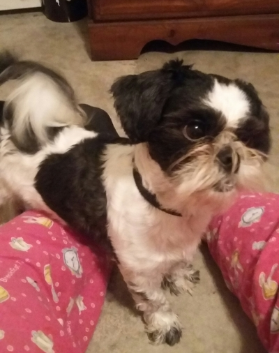SHIH TZU Male  Dog #Oreo352620161127#  - click here to view larger pic