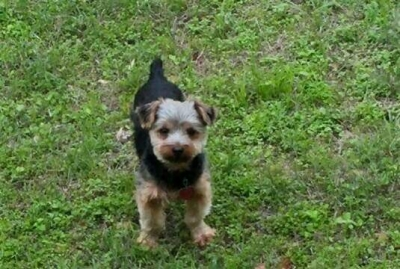 YORKSHIRE TERRIER Male  Adult  Dog #REBELROUSER655720160210#  - click here to view larger pic
