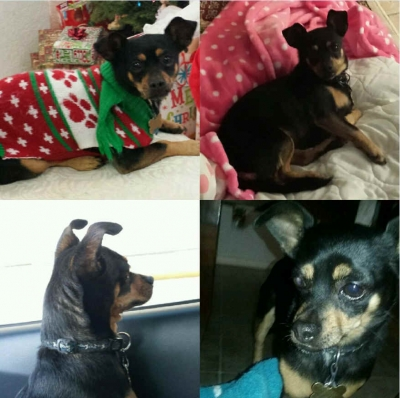 Mix-Bred DACHSHUND Female  Adult  Dog #Reeses587520160102#  - click here to view larger pic