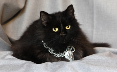 Mix-Bred DOMESTIC MEDIUMHAIR Female  Older  Cat #Sangeria823920140626#  - click here to view larger pic