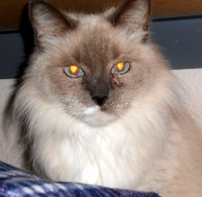 Mix-Bred SIAMESE Female  Adult  Cat #Sophia546820140626#  - click here to view larger pic