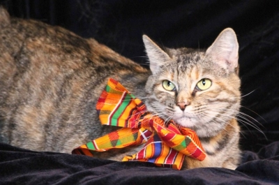 Mix-Bred DOMESTIC SHORTHAIR Female  Adult  Cat #TinaTurner836520140626#  - click here to view larger pic