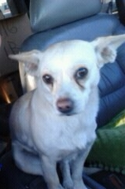 Mix-Bred CHIHUAHUA - SMOOTH COATED Adult  Dog #precious895820161207#  - click here to view larger pic